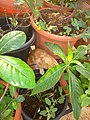 Plants at Bijalinagar 95.jpg