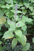 Plectranthus scutellarioides - El Yunque nat park PR IMG 2120.JPG