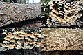 Plicatura crispa Syn. Plicaturopsis crispa (Crimped Gill, D= Krause oder Buchen-Adernzähling, F= plicature crispée, NL= Plooivlieswaaiertje) with hundreds together on a fallen Birch tree at Warnsborn-Hoge Erf Schaarsb - panoramio.jpg