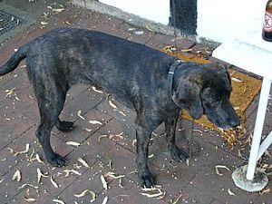 A plott hound.