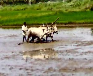 चित्र:Ploughing.ogv