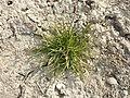 Poa annua (subsp. annua) sl10.jpg