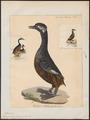 Podiceps leucotis - 1824-1839 - Print - Iconographia Zoologica - Special Collections University of Amsterdam - UBA01 IZ17800087.tif