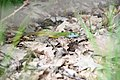 Podmolí-ještěrka-zelená-nad-Šobesem2019b.jpg