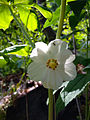 Podophyllum peltatum - Mayapple 2.jpg
