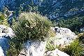 Pollença - Ma-10 - Mirador de Mal Pas - Ephedra fragilis 01 ies.jpg