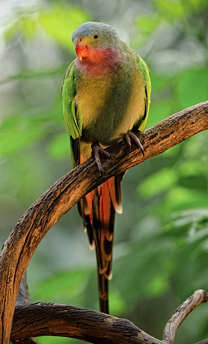 Princess parrot - A male at Bloedel Conservatory, Vancouver, Canada