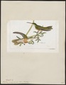 Polytmus amaziliculus - 1820-1860 - Print - Iconographia Zoologica - Special Collections University of Amsterdam - UBA01 IZ19100199.tif