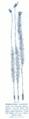Polytrichum commune GS199.png