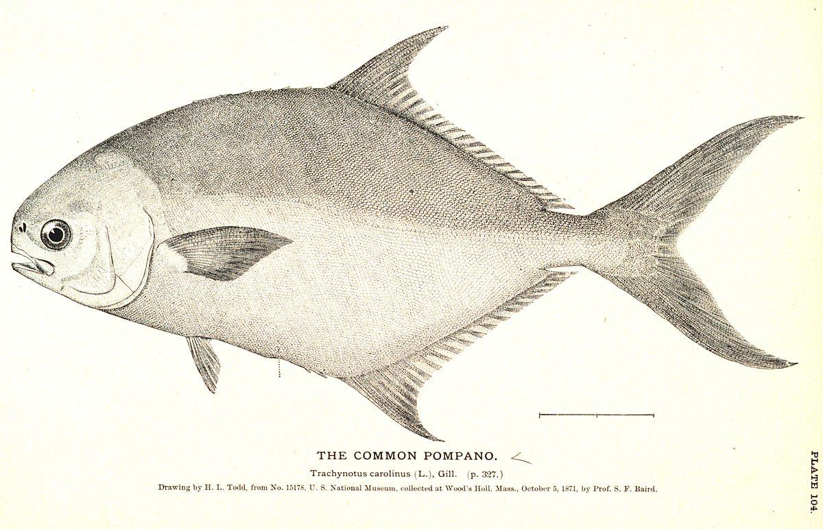 Pompano wikipedia for Florida pompano fish