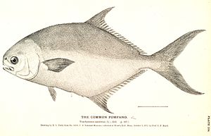 Pompano - Florida pompano, (T. carolinus)
