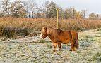 Pony's helpen mee met het beheren van het 'It Wikelslân. Locatie, De Alde Feanen in Friesland 01.jpg