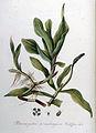Potamogeton praelongum — Flora Batava — Volume v9.jpg