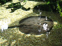 Potamotrygon national zoo2.jpg