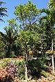 Pouteria caimito - Naples Botanical Garden - Naples, Florida - DSC09716.jpg