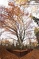 Praha, Liboc, Obora Hvězda, památný strom na podzim.jpg