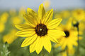 Prairie Sunflower (15405992966).jpg