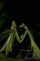 Praying Mantis Sexual Cannibalism European-42.jpg