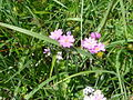 Primula farinosa 3.jpg