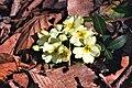 Primula vulgaris ENBLA15.jpg