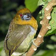 Prong-billed Barbet1.jpg