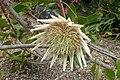 Protea cynaroides 'Arctic Ice' kz1.jpg