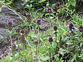 Prunella vulgaris var. vulgaris - Common Self-Heal on way from Gangria to Govindghat at Valley of Flowers National Park - during LGFC - VOF 2019 (2).jpg