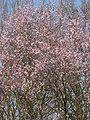 Prunus cerasifera Nigra boom.jpg