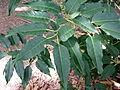 Prunus lusitanica kz3.JPG