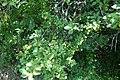 Prunus sp. Rosaceae 01.jpg