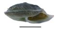 Pseudiberus chentingensis shell.png