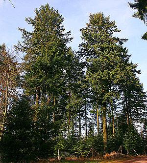 Über 100-jährige Douglasien (Pseudotsuga menziesii) bei Suhl/Thüringer Wald.