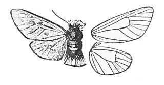 Somabrachyidae family of insects