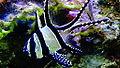 Pterapogon kauderni - jeunes Apogon de Kaudern - Aqua porte dorée 04.JPG