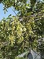 Pterocarya fraxinifolia 3.jpg