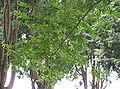 Pterocarya stenoptera2.jpg