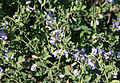Purple nightshade Solanum xanti.jpg