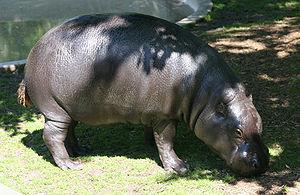 Hippopotamus - Pygmy hippopotamus (Choeropsis liberiensis)