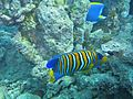 Pygoplites diacanthus Maldives.JPG