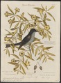 Pyrocephalus fuscus - 1700-1880 - Print - Iconographia Zoologica - Special Collections University of Amsterdam - UBA01 IZ16500353.tif