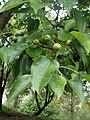 Pyrus pyrifolia kz01 wild.jpg