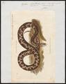 Python bivittatus - 1700-1880 - Print - Iconographia Zoologica - Special Collections University of Amsterdam - UBA01 IZ11800219.tif