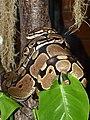 Pythonidae Python regius 3.jpg