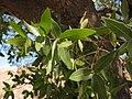 Quercus Chihuahua follaje (7554543874).jpg