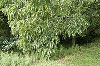 Quercus acutissima 01.jpg
