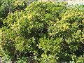 Quercus coccifera 1.JPG