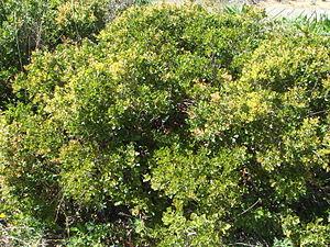 Quercus coccifera - Quercus coccifera bush in coastal area