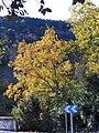 Quercus faginea 2009December20 Habitat SierraMadrona.jpg