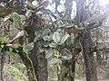 Quercus semecarpifolia 01.jpg