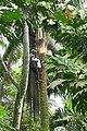 Récolteur de vin de palme à Ribeira Peixe (São Tomé) (1).jpg